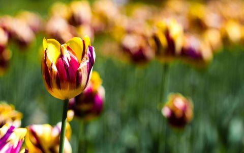 郁金香鲜花风景壁纸