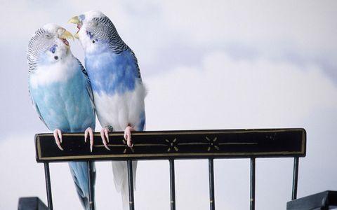 两只鹦鹉摄影
