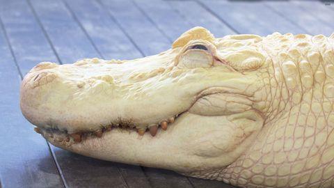 白色鳄鱼高清背景
