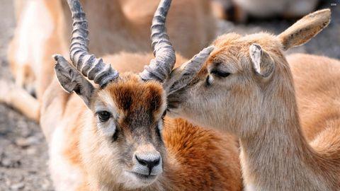 可爱羚羊高清背景