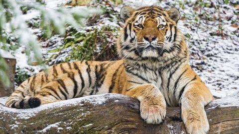 雪地上的老虎高清背景