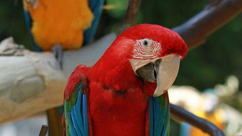 红鹦鹉高清摄影