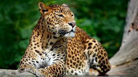豹子高清背景