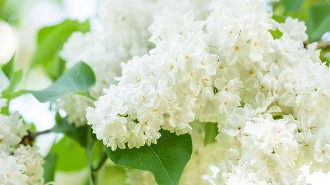 白色的花高清背景