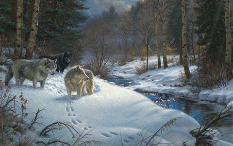 雪地上的野狼
