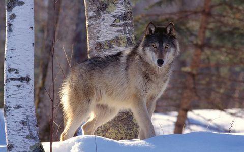 站在雪地里的狼