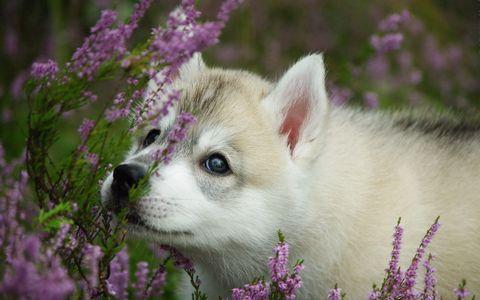 花丛中的小狼高清壁纸